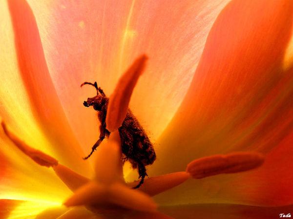 La tulipe et l'insecte