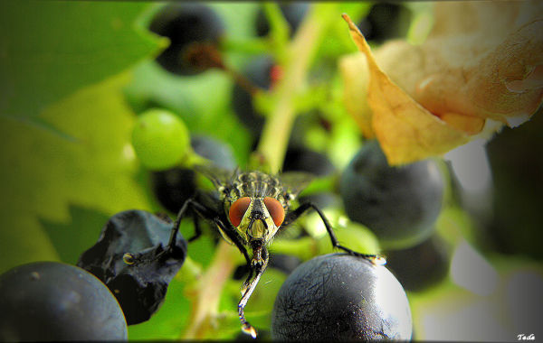 Mouche et raisins