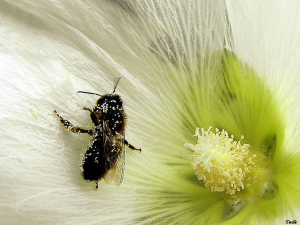 La rose trémière et l'abeille