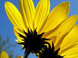 Sous  les  robes  des  fleurs  jaunes...