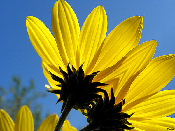 Aminus3 Featured photo Sous  les  robes  des  fleurs  jaunes... | 24 September 2011
