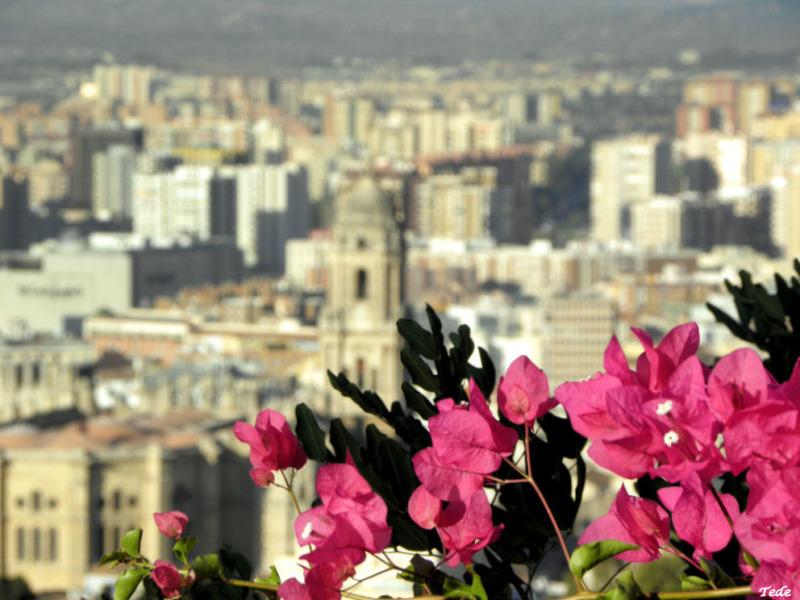 Fleurs de bougainvillées