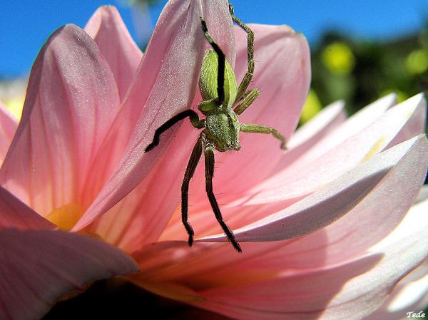 L'araignée verte