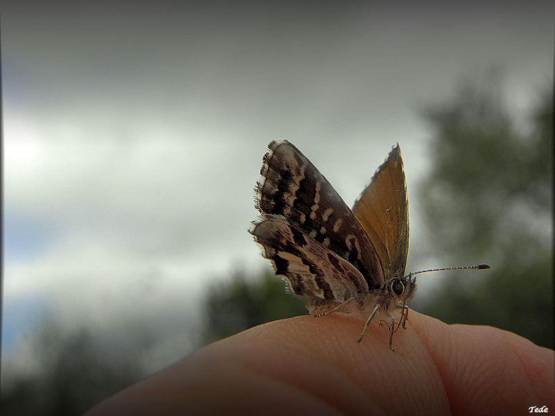 Papillon apprivoisé