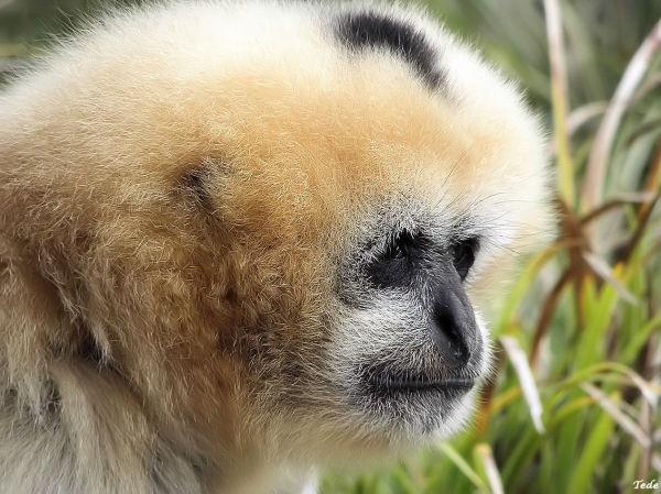 Le gibbon penseur