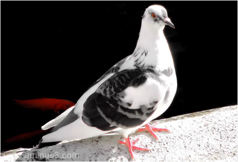 Le pigeon blanc et le poisson rouge