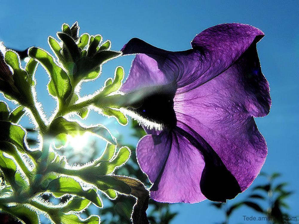 Fleur de pétunia