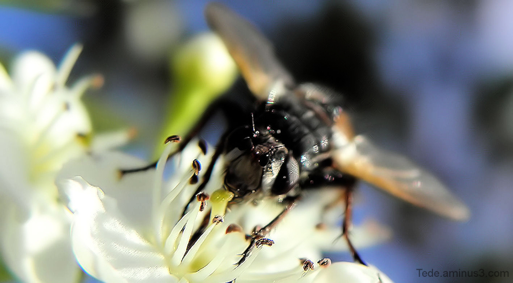 La mouche butineuse