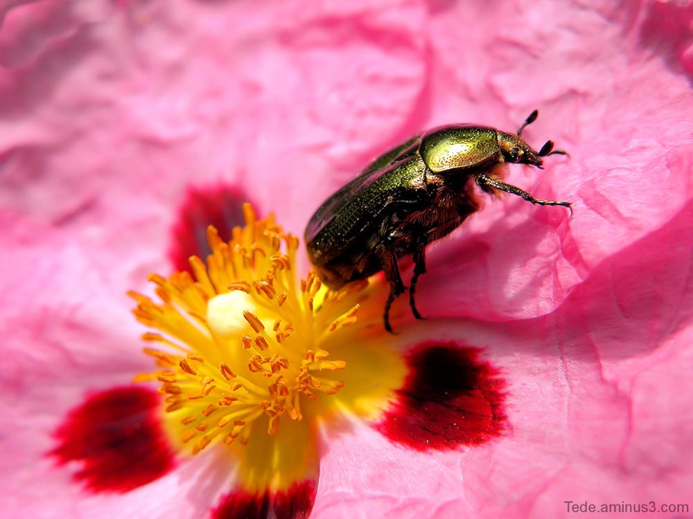 Cétoine doré et fleur de ciste
