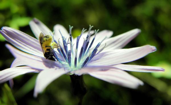 Fleur et insecte pollinisateur