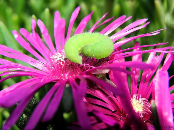 La chenille et la fleur