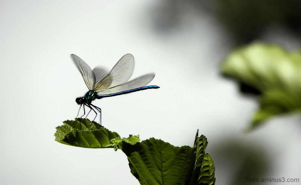 Caloptéryx