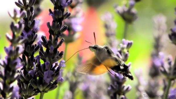 Papillon colibri