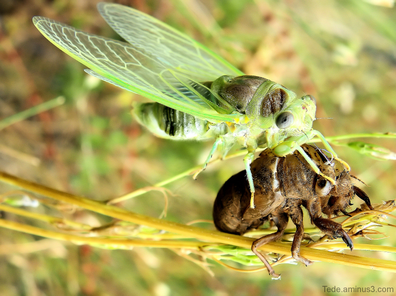 Aminus3 Featured photo L'imago  ou  la  naissance  d'une  cigale... | 2 July 2012