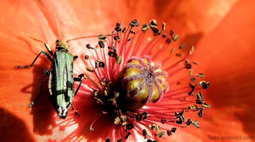 Coquelicot et insecte