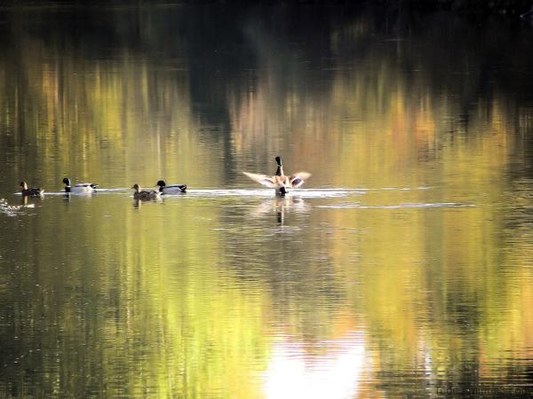 Les canards en automne