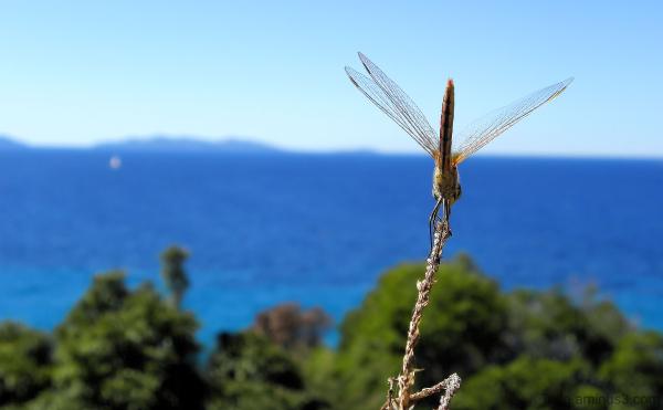 La libellule admire la mer