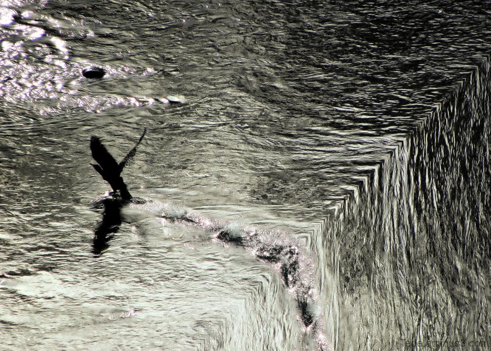 Le cormoran