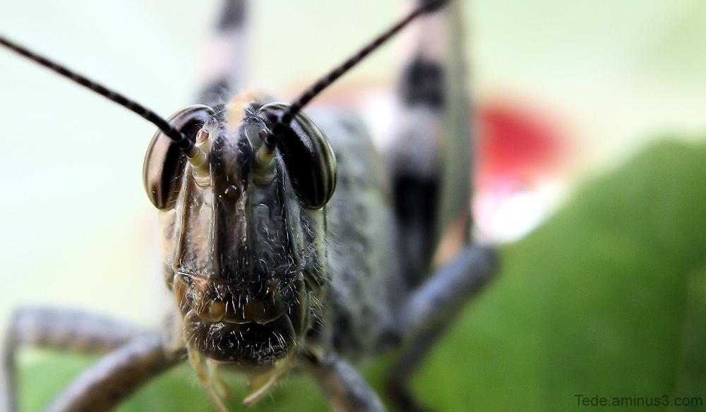 Les yeux de la sauterelle