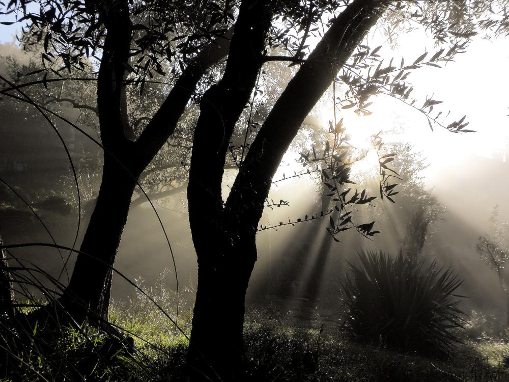 Soleil dans les oliviers