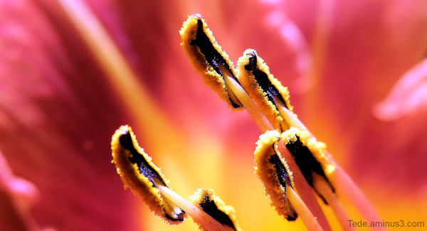 Etamines de fleur