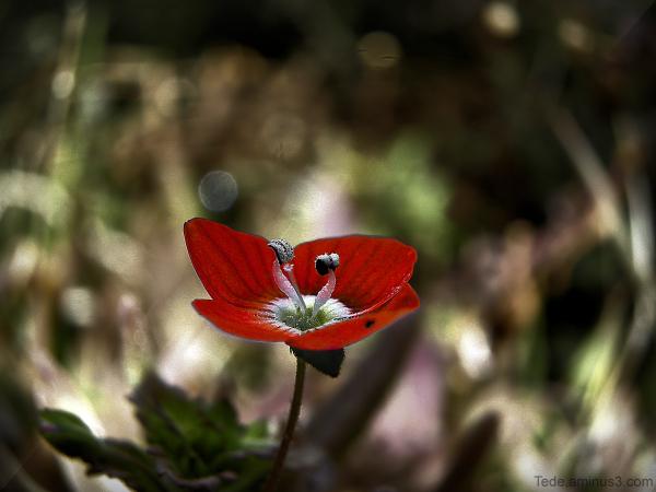 Fleur de véronique