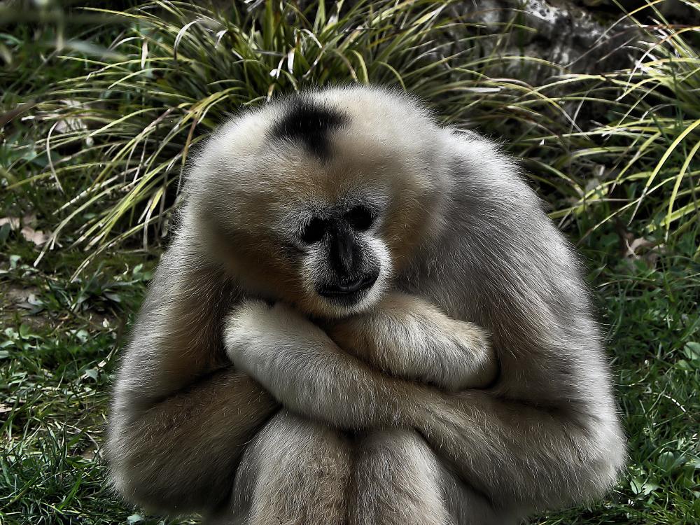Singe gibbon