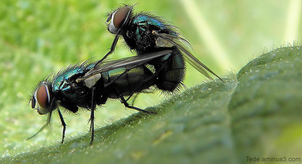 Copulation de mouches
