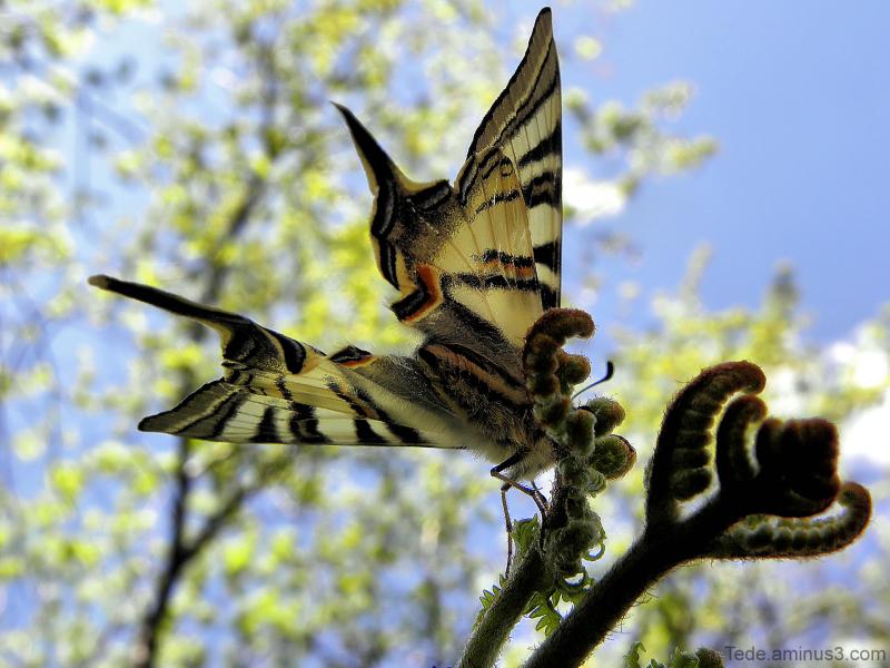 Les  dessous  du  papillon...