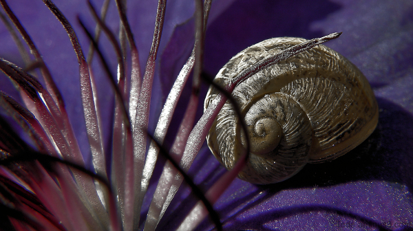 Escargot et clématite