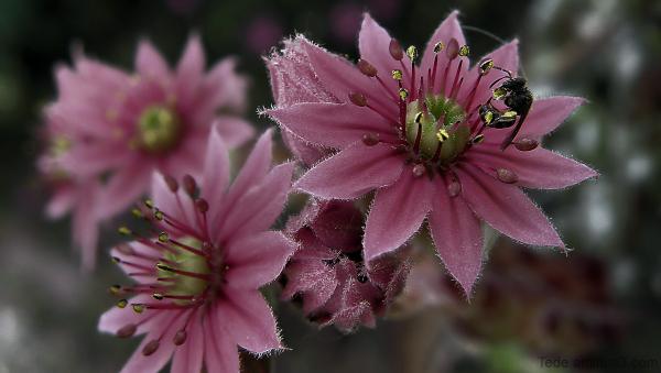 Insecte et fleur de joubarde