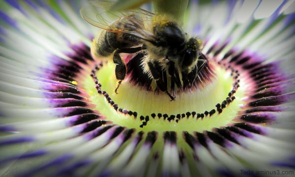Abeille et fleur de fruit de la passion