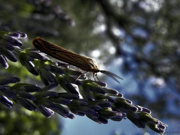 Papillon de nuit et lavande