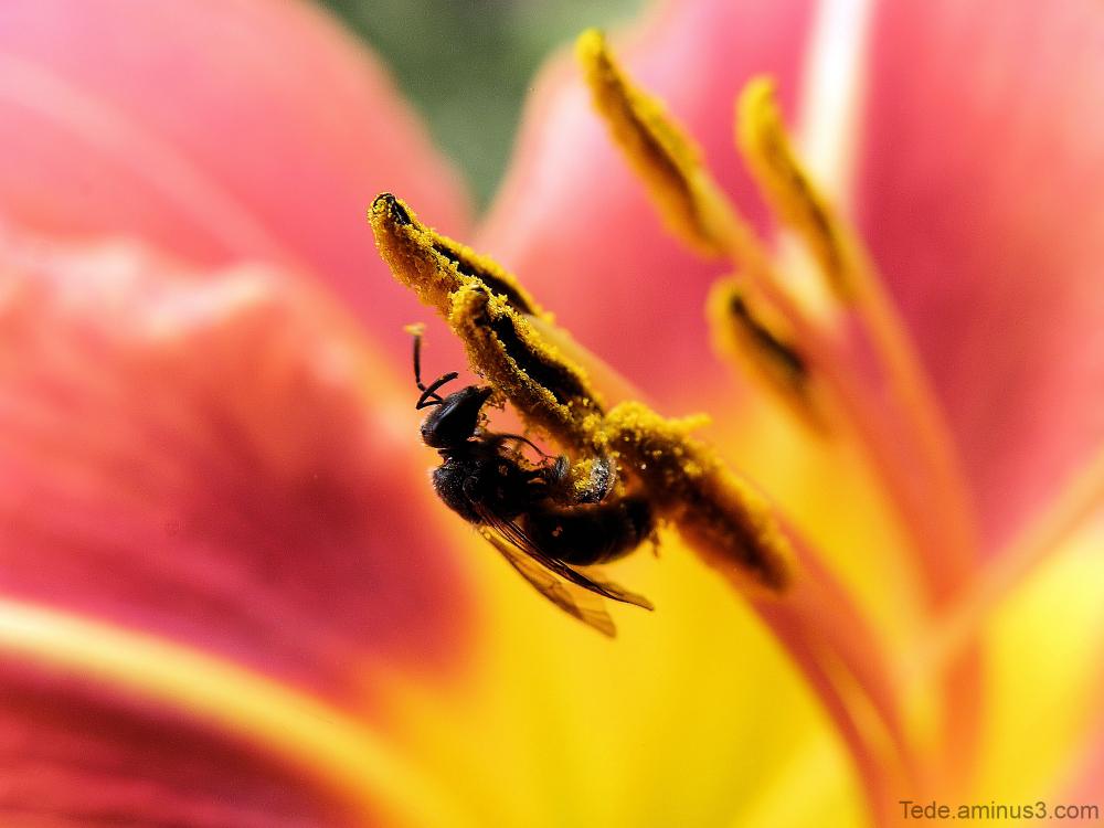 Insecte sur un lys