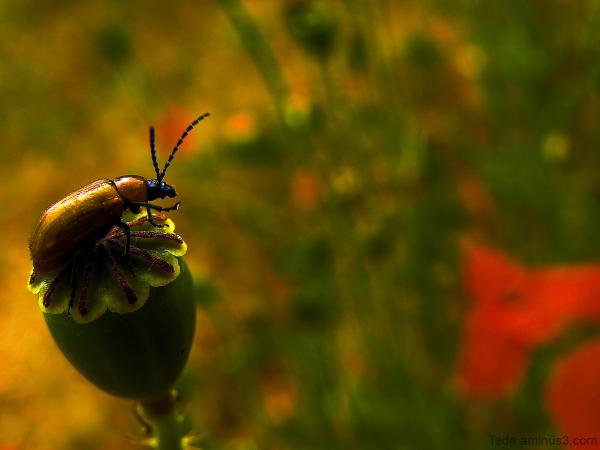 Insecte et fruit de coquelicot