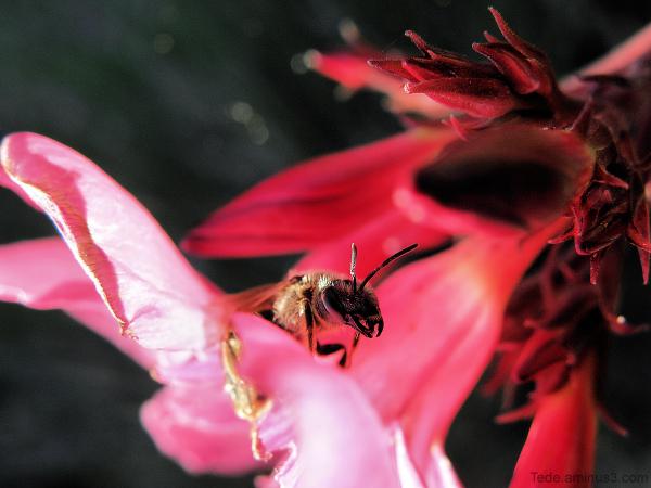 Abeille et laurier rose