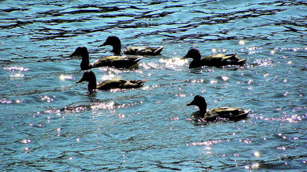 Scintillements et canards