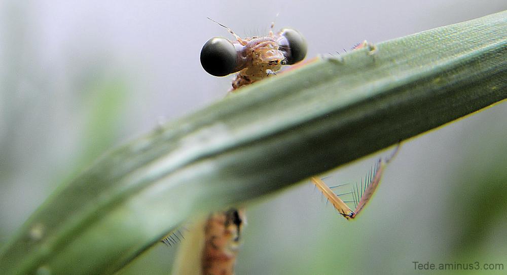Naissance d'une libellule