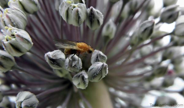 Mouche sur une fleur de poireau sauvage