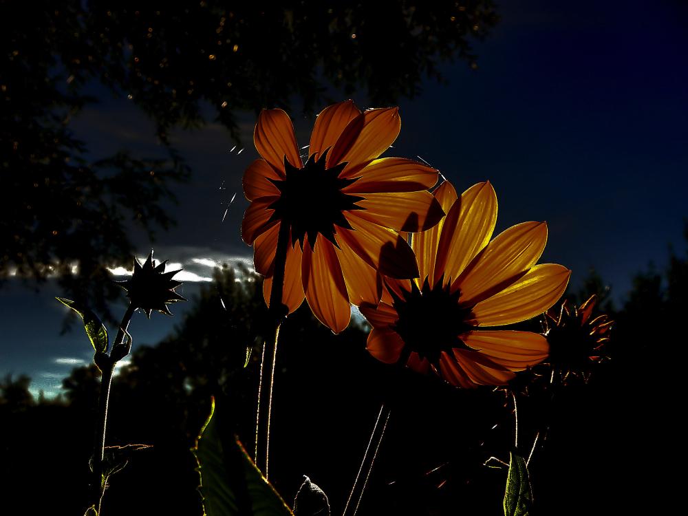 Fleurs en contre-jour