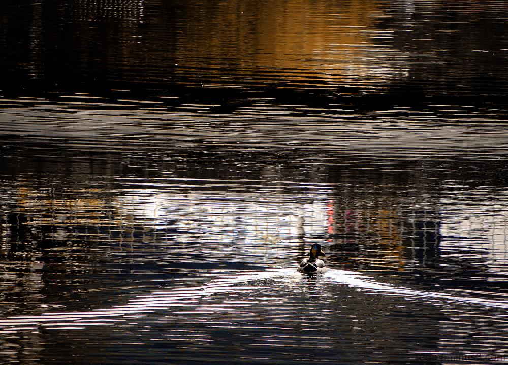 Canard et reflets