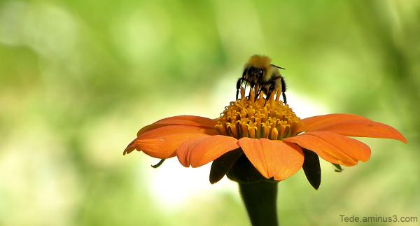Fleur et bourdon