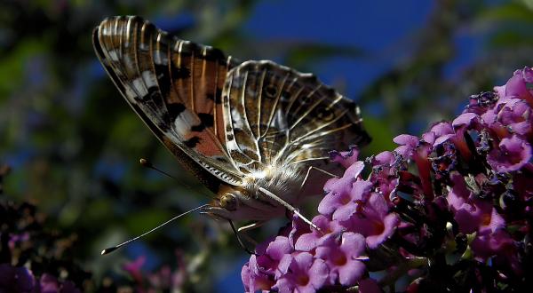 Papillon sur un buddleia