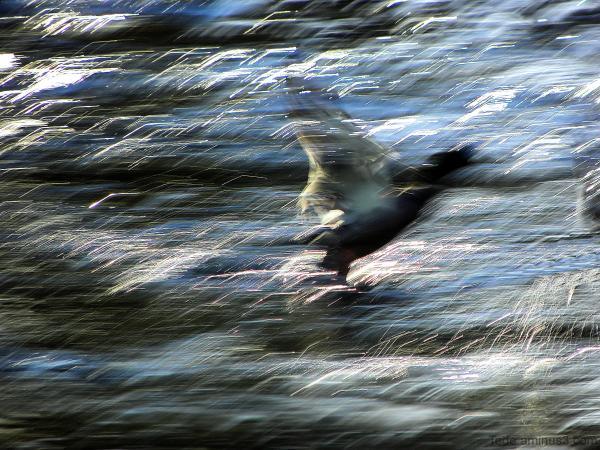 L'envol du canard