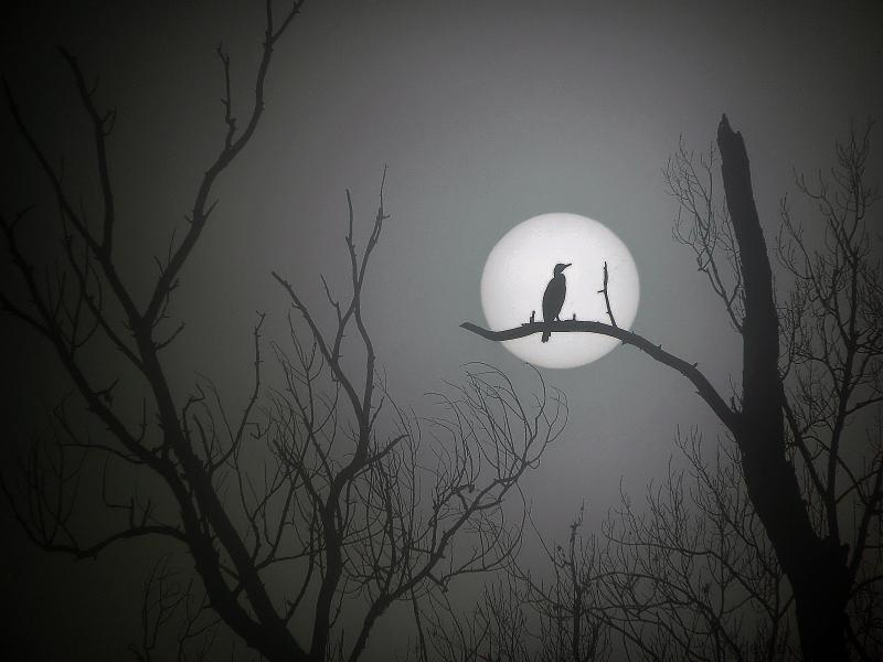 L'oiseau  noir  dans  le  soleil  levant...