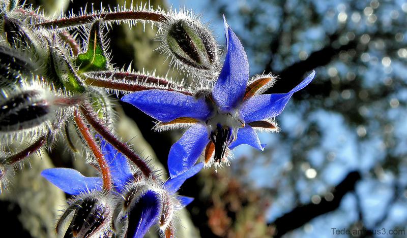 Etoile  bleue...