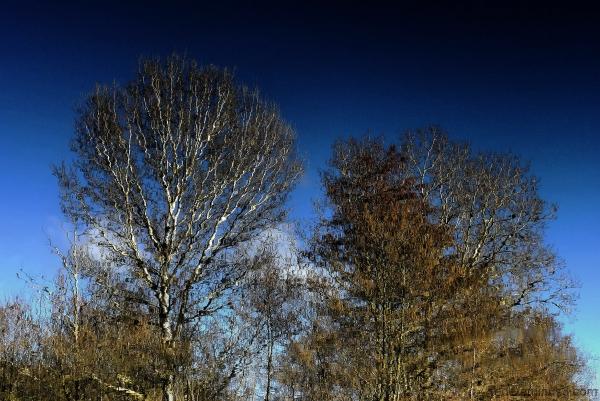 Reflets d'arbres