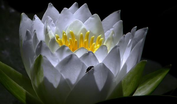 Fleur  de  lotus...