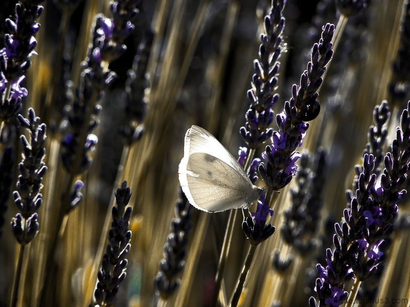 Le  bonheur  est  comme  un  papillon...