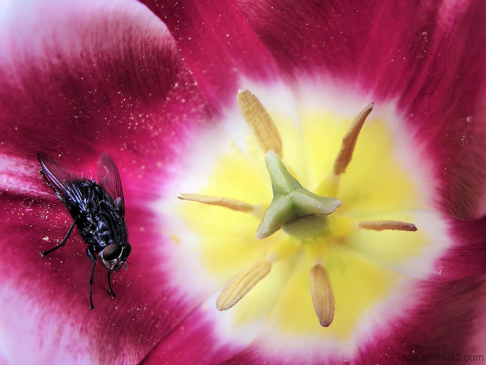 Mouche et tulipe